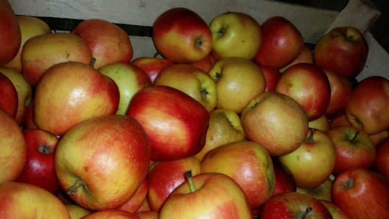 Letnje sorte jabuka
