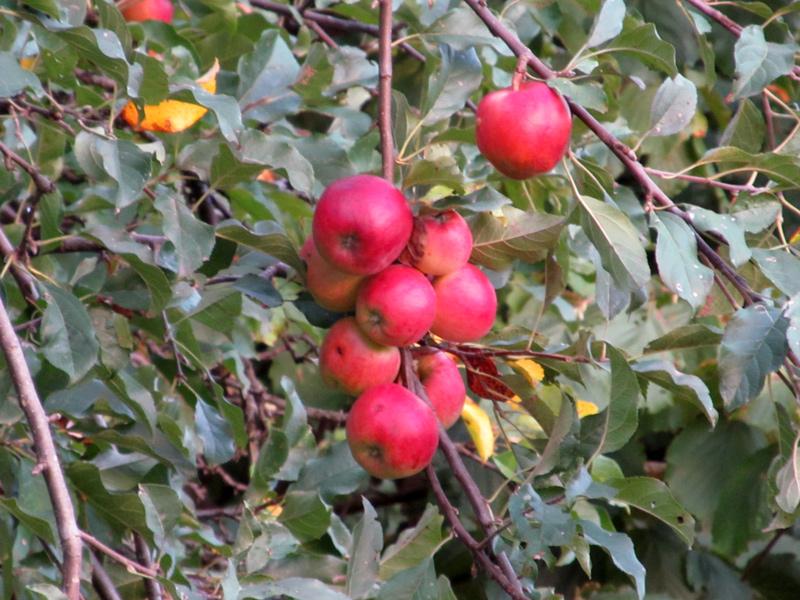 Istorijat o jabuci